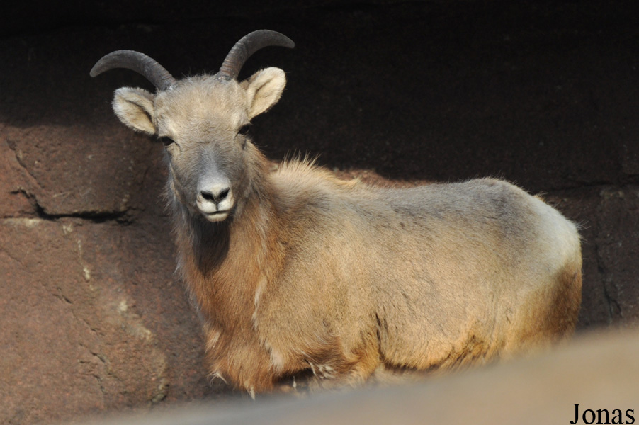 Ovis canadensis nelsoni