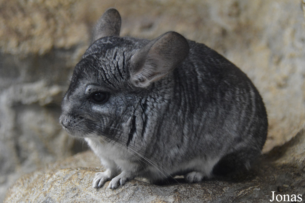 Chinchilla lanigera / Sofia Zoo / Visualiser dans la Galerie animalière