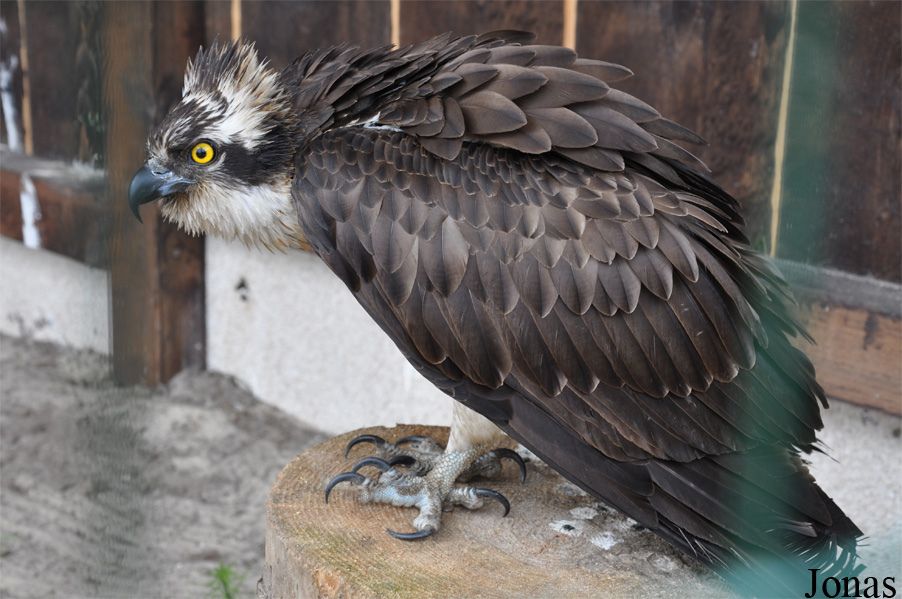 Pandion haliaetus