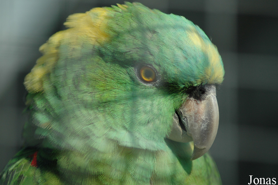 Amazona auropalliata parvipes