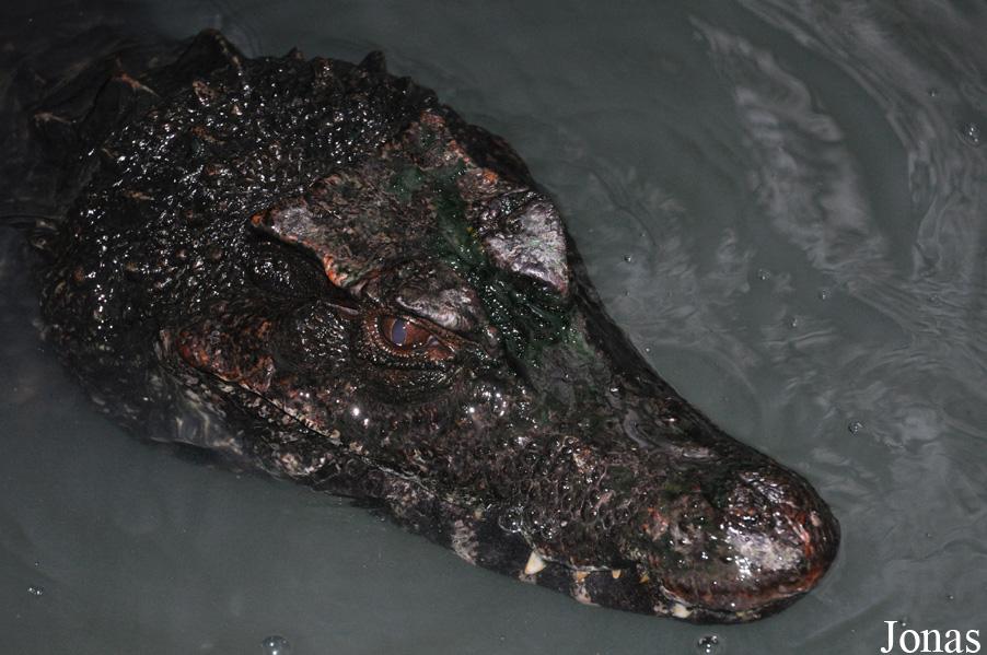 http://www.leszoosdanslemonde.com/gal2data/albums/reptiles/crocodilia/alligatoridae/paleosuchus_trigonatus/plzen_travnicek_paleosuchus_trigonatus_2012_2.jpg
