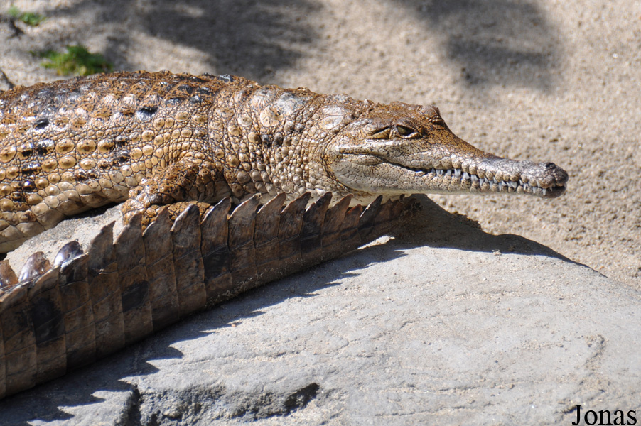 Crocodylus johnsoni