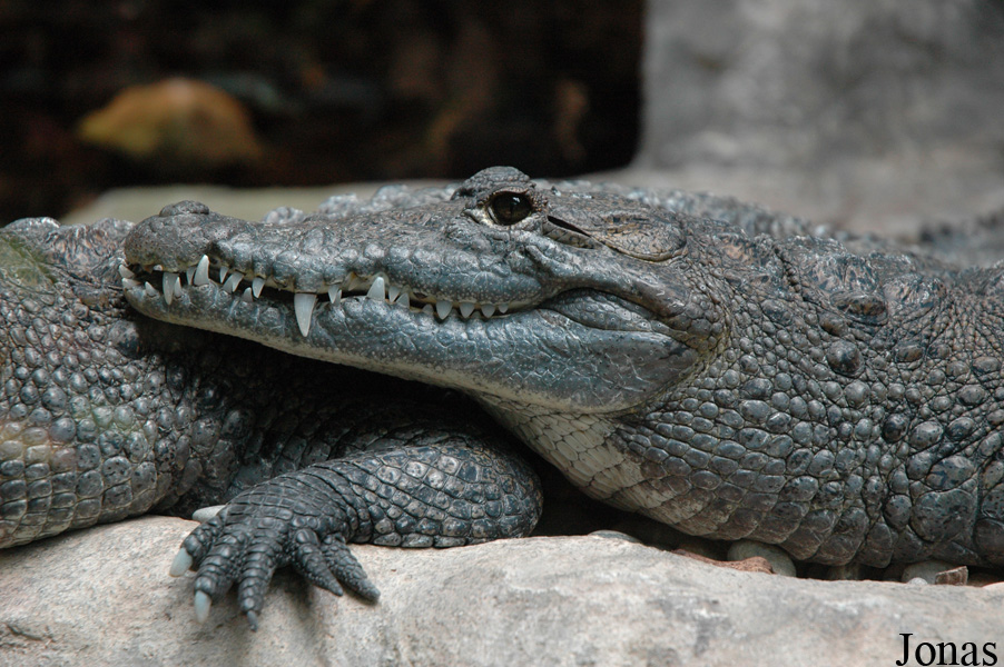 Crocodylus moreletii