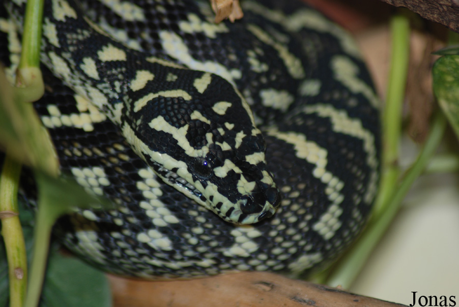 Morelia spilota crossing