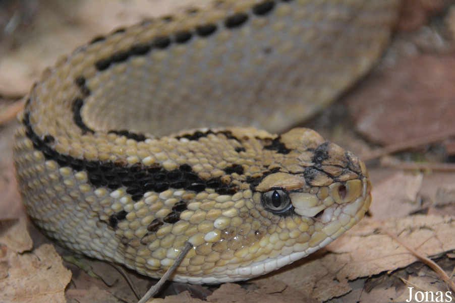 Crotalus culminatus