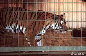 Tigre indochinois