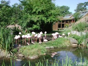Colonie de flamants nains