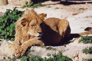 Young male Southwest African lion