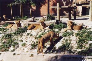 Group of Southwest African lions