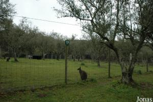 Enclosure of the red-necked wallabies