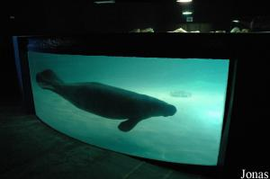 Manatee pool in the aquarium